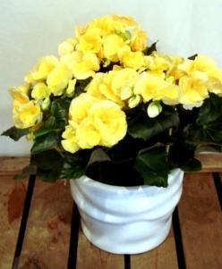 Planta begonia  con macetero