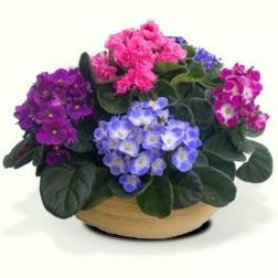 Plantas de violetas con macetero