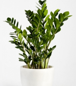 Planta zamioculcas  con macetero