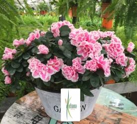 Planta azalea con macetero