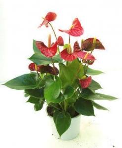 Planta anthurium  con macetero