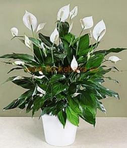 Planta spatifilium con macetero