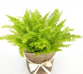 Planta ficus benjamina con macetero