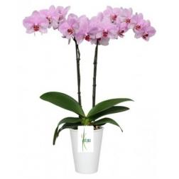 Planta pachira