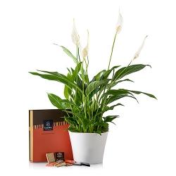 Planta Anthurium en base de cristal