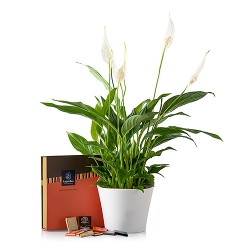 Planta spatifilium con bombones y macetero