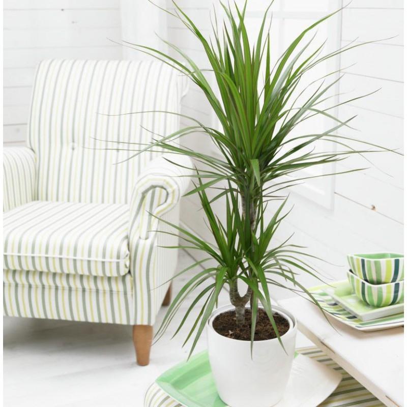 Planta dracaena  con macetero