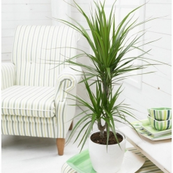 Planta areca con macetero