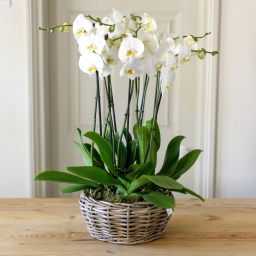 Cesta de planta de orquidea