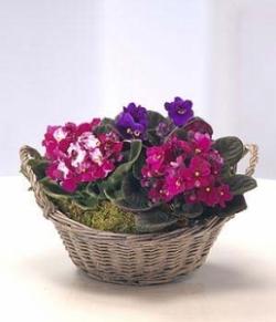 Cesta de plantas de violetas