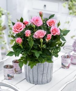 Planta rosal con macetero