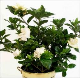 Planta gardenia con macetero