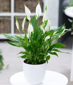 Planta espatifilium con macetero