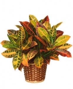 Planta croton con macetero