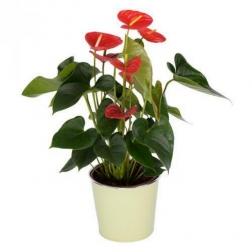 Planta anthurium mediano con macetero