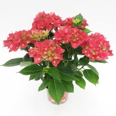 Planta hortensia con macetero