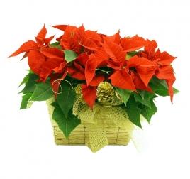 Cesta de plantas de flor de pascua