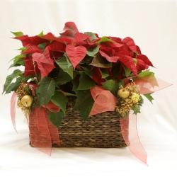 Cesta con plantas de flor de pascua
